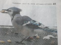 Petfinder Blue Jay
