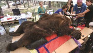 bear-dentistry